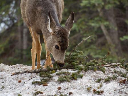 banff: Deer at Banff, Canada