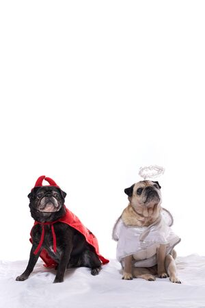 perros vestidos: Black and Fawn Pug Dogs dressed in an angel and devil costume Foto de archivo