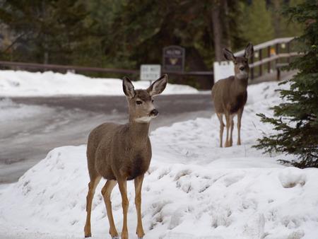 banff: Deers at Bow River, Banff, Canada