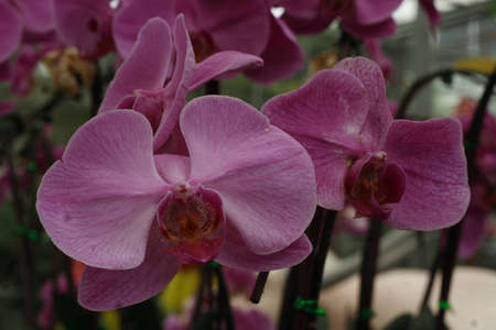 Pink Thai royal orchid Stock Photo
