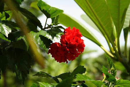Chinese rose in garden
