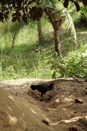 Thailand chicken with chicks Stock Photo