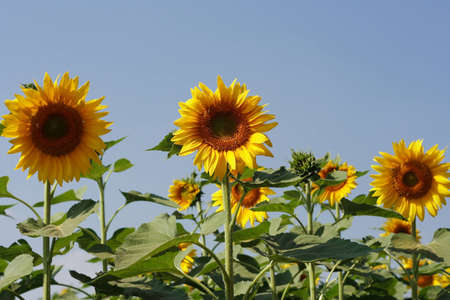Sunflowers standing in field