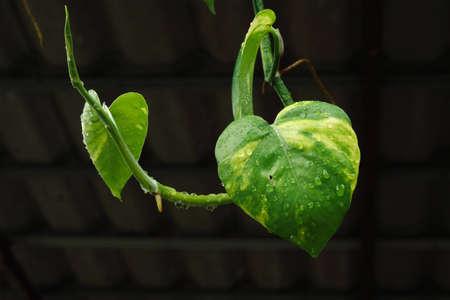 Raindrop on leaf with heart shape