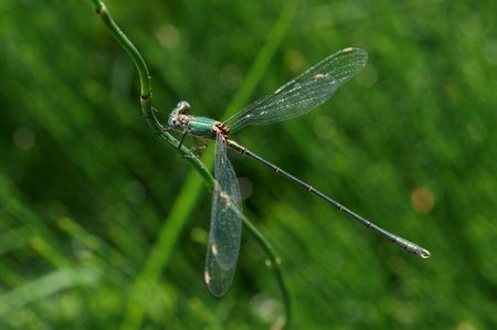 zygoptera: An Emerald Damselfly on a stem with green background Stock Photo