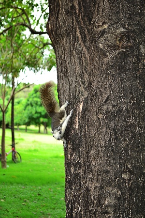 fluffy tuft: squirrel in the natural environment
