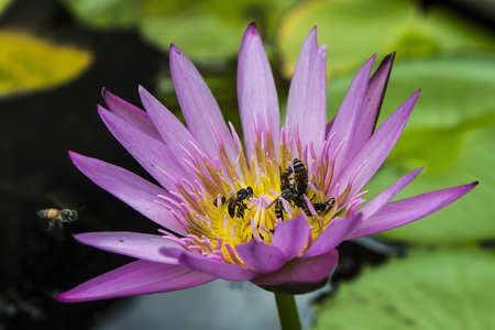 Bee on purple lotus as background photo