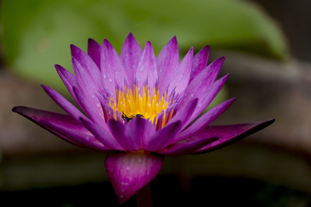 Bearing little dodgy purple water lilies on background photo