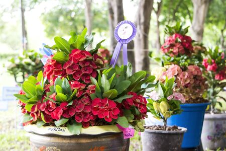 poi: Poi Sian flowers are shipped on the groomed  Until flowering abundance  Stock Photo