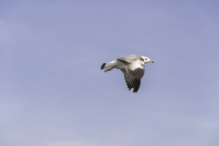 hover: Little seagulls hover in midair  Stock Photo