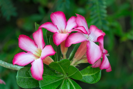 Desert Rose Flower, Plants with beautiful colorful flowers   photo