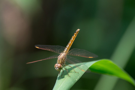 dropwing: Resting yellow dragonfly