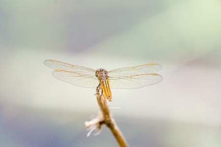 Resting yellow dragonfly photo