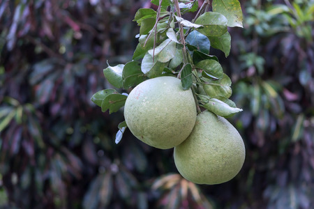 Fresh Pomelo is on the tree photo