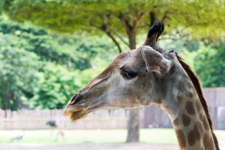 quizzical: Una jirafa curiosa, Giraffa camelopardalis, mira hacia abajo desde arriba Foto de archivo