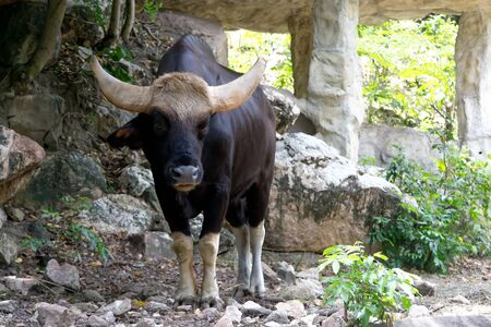 bos: Gaur at the zoo in Thailand Stock Photo