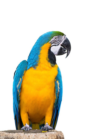 green winged macaw: Close-up of Blue-and-Yellow Macaw, Ara ararauna, white background.