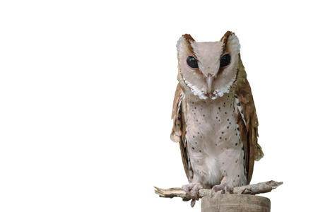 virginianus: Great Horned Owl, Bubo Virginianus Subarcticus, in front of white background Stock Photo