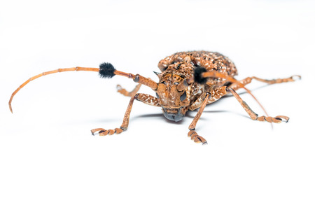 long horn beetle: Flat faced Longhorn Beetle. isolated white background
