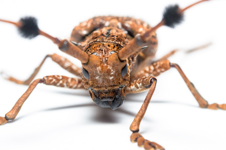 longhorn beetle: Flat faced Longhorn Beetle. isolated white background