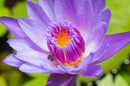 yellow stamens: Lotus, fresh color, with yellow stamens of the lotus flower