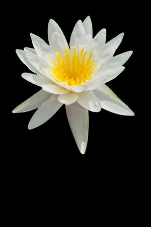 Lotus, fresh color, with yellow stamens of the lotus flower. isolated black background. with Clipping Path