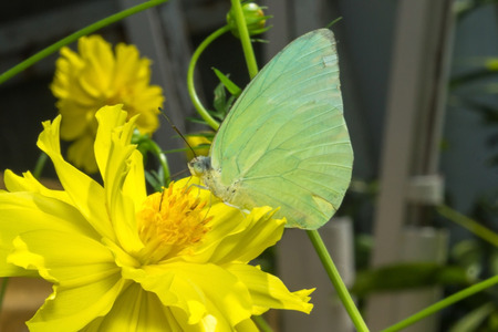 emigrant: The Lemon Emigrant. perched on yellow flowers. in the garden.
