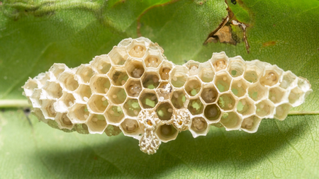 paper wasp: Wasps in the nest