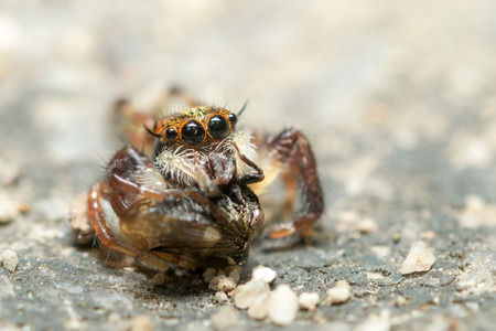 jumping spider: Jumping Spider, eating an Strange treehopper Stock Photo