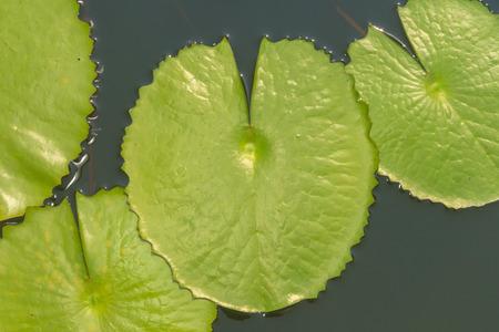 Green Lotus leaf with water drop as background. 版權商用圖片