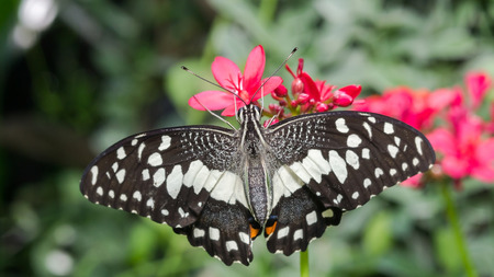 stomach bug: Close up of Common Lime butterfly or Lemon butterfly or Lime swallowtail (Papilio demoleus) feeding on red flower Stock Photo