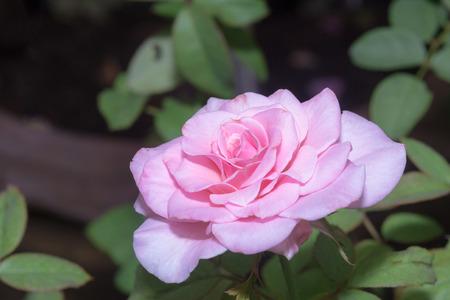 rosaceae: field of pink roses (Rosaceae)