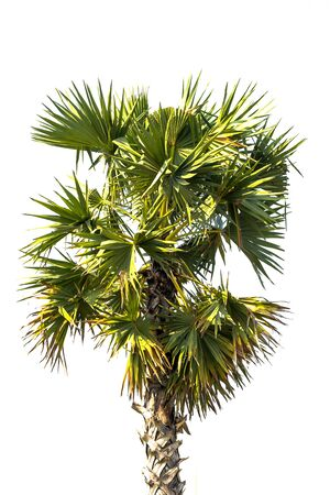 asian palmyra palm: Borassus flabellifer, known by several common names, including Asian Palmyra palm, Toddy palm, Sugar palm, or Cambodian palm, tropical tree in the northeast of Thailand