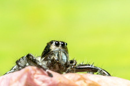 jumping spider: Jumping spider on green leaf
