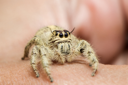 jumping spider: Jumping spider on hand
