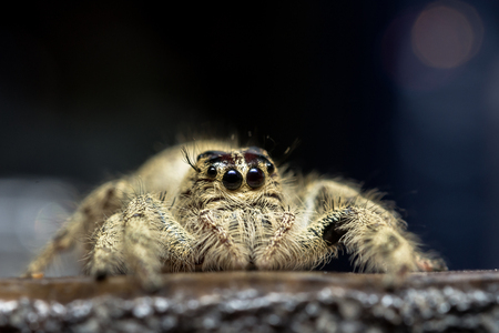 wood spider: Jumping spider on the wood floor