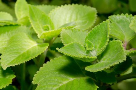 pus: Primo piano fresco erba verde chiamato borragine indiana (Plectranthus amboinicus (Lour.) Spreng.), Thailandia Archivio Fotografico