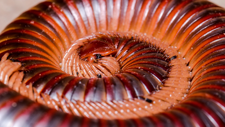 closedup: Closed-up the Millipede Stock Photo