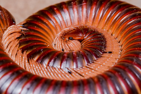 naturalist: Closed-up the Millipede Stock Photo