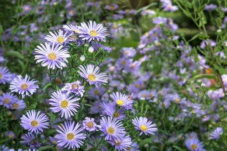 ornamental bush: Ornamental garden plants PerenniOrnamental garden plants Perennial Aster (Aster). Flowering bushal Aster (Aster). Flowering bush