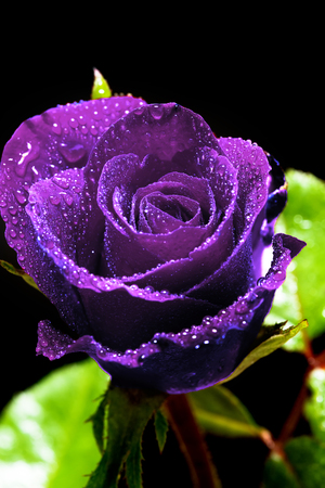beautiful close up Purple rose. with Clipping Path