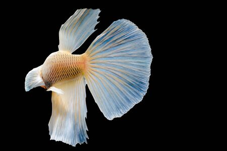 big ear: Beautiful fighting fish, fighting fish (betta), big ear profile. isolated black background. with Clipping Path