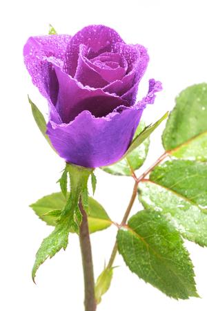 purple rose: beautiful close up Purple rose.