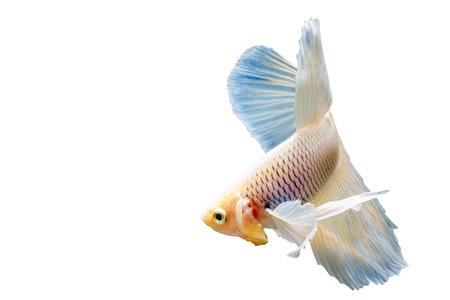 big ear: Beautiful fighting fish, fighting fish (betta), big ear profile. isolated white background. Stock Photo
