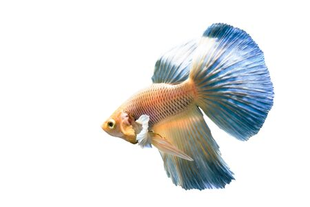 big ear: Beautiful fighting fish, fighting fish (betta), big ear profile. Stock Photo