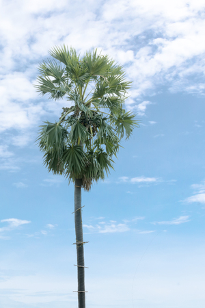 asian palmyra palm: known by several common names, including Asian Palmyra palm, Toddy palm, Sugar palm, or Cambodian palm, tropical tree in the northeast of Thailand