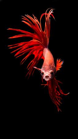 Beautiful fighting fish Red (Betta splendens)