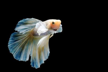 big ear: Beautiful fighting fish, fighting fish (betta), big ear profile. isolated black background.