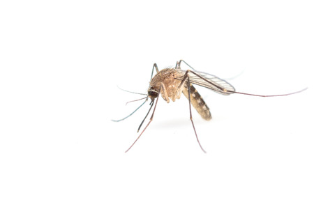 infective: Anopheles mosquito, dangerous vehicle of infection. Stock Photo