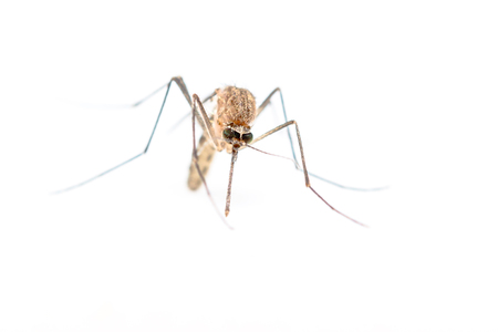 Anopheles mosquito, dangerous vehicle of infection. Stock Photo